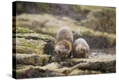 European Otter (Lutra Lutra) Mother and Cub Shaking Water from their Coats-Mark Hamblin-Stretched Canvas Print