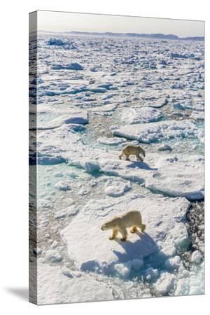 Adult Polar Bears (Ursus Maritimus)-Michael-Stretched Canvas Print