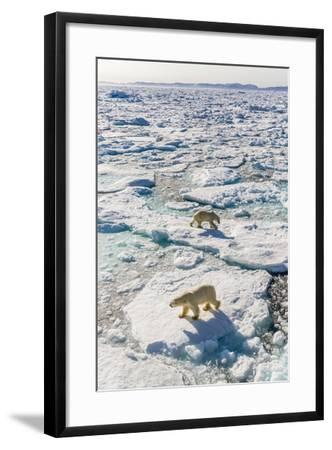 Adult Polar Bears (Ursus Maritimus)-Michael-Framed Photographic Print