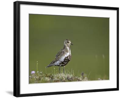 European Golden Plover (Pluvialis Apricaria), Lake Myvatn, Iceland, Polar Regions-James Hager-Framed Photographic Print