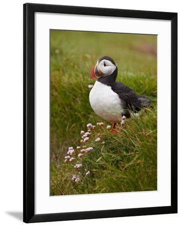 Atlantic Puffin (Fratercula Arctica), Iceland, Polar Regions-James Hager-Framed Photographic Print