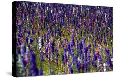 Flowers at a Farm in the Willamette Valley of Oregon-Bennett Barthelemy-Stretched Canvas Print
