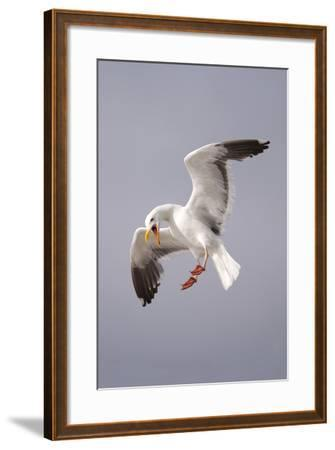 USA, California, La Jolla. a Seagull Flying over the Pacific Coast-Jaynes Gallery-Framed Photographic Print