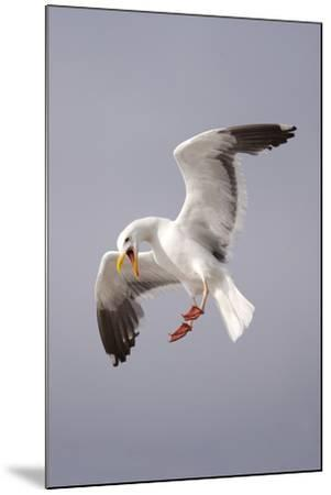 USA, California, La Jolla. a Seagull Flying over the Pacific Coast-Jaynes Gallery-Mounted Photographic Print