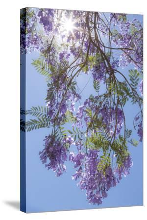 Mexico, San Miguel De Allende. Sunburst Through Jacaranda Tree-Jaynes Gallery-Stretched Canvas Print