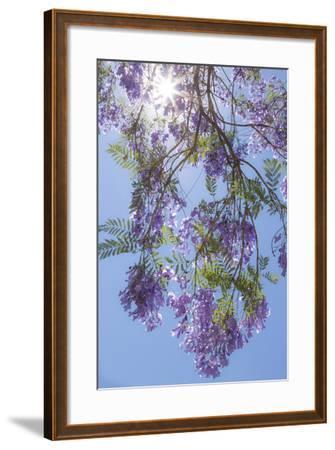 Mexico, San Miguel De Allende. Sunburst Through Jacaranda Tree-Jaynes Gallery-Framed Photographic Print