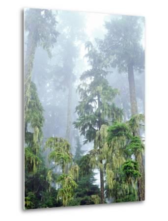 USA, Oregon, Old-Growth Douglas Fir Tree in the Rainforest-Jaynes Gallery-Metal Print