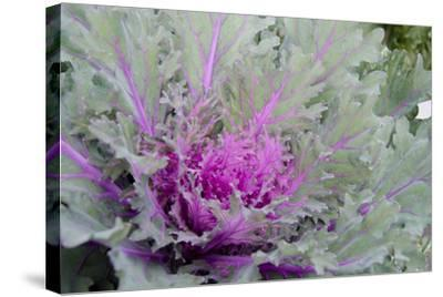 New York, Rhinebeck. Detail of Green and Purple Ornamental Kale-Cindy Miller Hopkins-Stretched Canvas Print