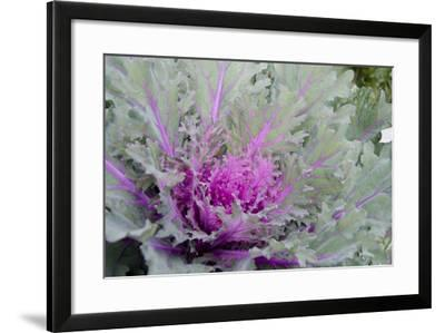 New York, Rhinebeck. Detail of Green and Purple Ornamental Kale-Cindy Miller Hopkins-Framed Photographic Print
