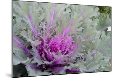 New York, Rhinebeck. Detail of Green and Purple Ornamental Kale-Cindy Miller Hopkins-Mounted Photographic Print
