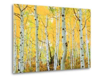 USA, Colorado, Rocky Mountains, Fall Colors of Aspen Trees-Jaynes Gallery-Metal Print