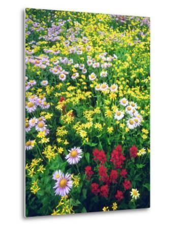 USA, Montana, Glacier National Park. Wildflowers-Jaynes Gallery-Metal Print