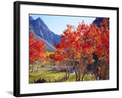 USA, California, Sierra Nevada. Autumn Red Aspen Trees-Jaynes Gallery-Framed Photographic Print