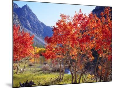 USA, California, Sierra Nevada. Autumn Red Aspen Trees-Jaynes Gallery-Mounted Photographic Print