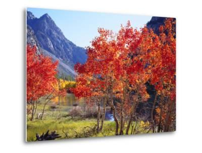 USA, California, Sierra Nevada. Autumn Red Aspen Trees-Jaynes Gallery-Metal Print
