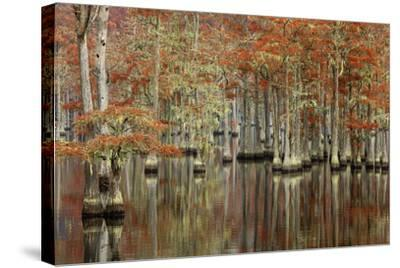 USA, Georgia, Cypress Swamp with Fall Reflections-Joanne Wells-Stretched Canvas Print