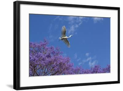 Mexico, San Miguel De Allende. Great Egret Flying over Jacaranda Tree-Jaynes Gallery-Framed Photographic Print