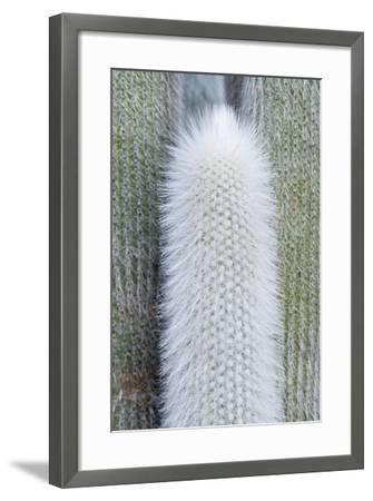 USA, Ca, Pasadena, the Huntington Botanical Garden, Old Man Cactus-Rob Tilley-Framed Photographic Print