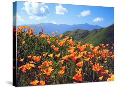 USA, California, Lake Elsinore. California Poppies Cover a Hillside-Jaynes Gallery-Stretched Canvas Print