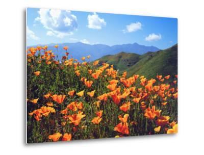 USA, California, Lake Elsinore. California Poppies Cover a Hillside-Jaynes Gallery-Metal Print