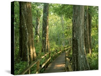 Boardwalk Through Forest of Bald Cypress Trees in Corkscrew Swamp-James Randklev-Stretched Canvas Print