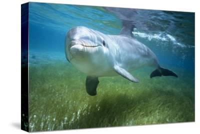 Bottlenosed Dolphin-Craig Tuttle-Stretched Canvas Print