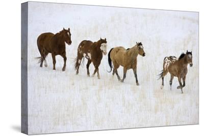 American Quarter Horses in Winter-Darrell Gulin-Stretched Canvas Print