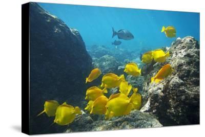 School of Yellow Tang Nderwater Near La Perousse, Makena, Maui, Hawaii-Ron Dahlquist-Stretched Canvas Print