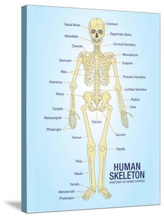 Human Skeleton Anatomy Anatomical Chart Poster Print--Stretched Canvas Print