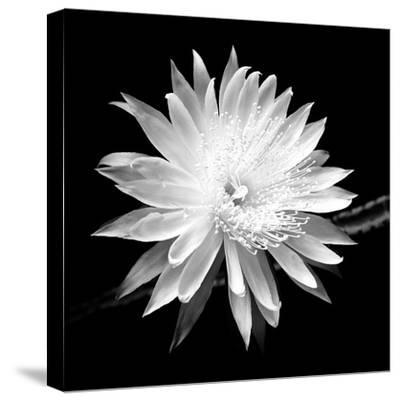 Queen of the Night BW II-Douglas Taylor-Stretched Canvas Print