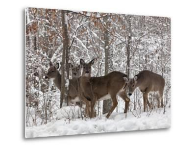Whitetail Deer-Lynn_B-Metal Print