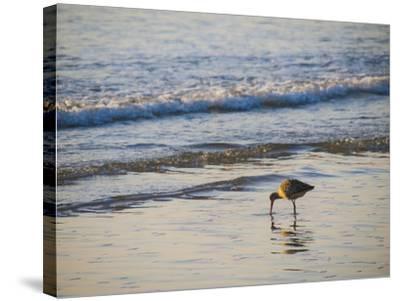 Coastal Bird, Morro Bay Coast-Anna Miller-Stretched Canvas Print