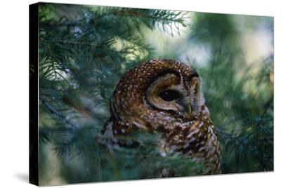 Spotted Owl--Stretched Canvas Print