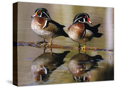 Wood Ducks--Stretched Canvas Print