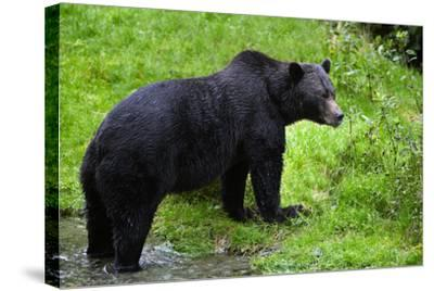 Black Bear--Stretched Canvas Print