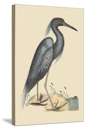 Blue Heron-Mark Catesby-Stretched Canvas Print