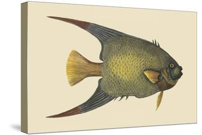 Angel Fish-Mark Catesby-Stretched Canvas Print