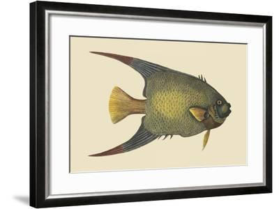 Angel Fish-Mark Catesby-Framed Art Print