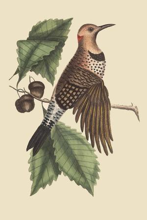 Golden Winged Woodpecker-Mark Catesby-Stretched Canvas Print