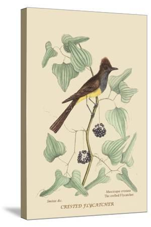 Crested Fkycatcher-Mark Catesby-Stretched Canvas Print