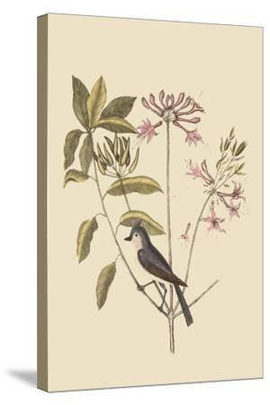 Crested Titmous-Mark Catesby-Stretched Canvas Print