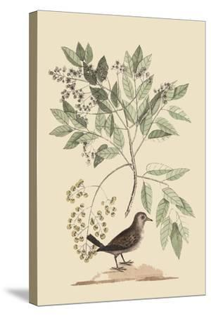 Ground Dove-Mark Catesby-Stretched Canvas Print