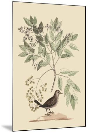 Ground Dove-Mark Catesby-Mounted Art Print