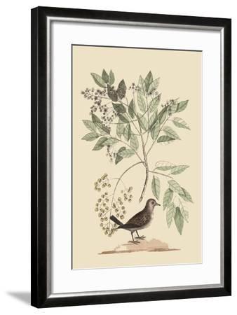 Ground Dove-Mark Catesby-Framed Art Print