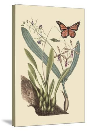 Monarch Butterfly-Mark Catesby-Stretched Canvas Print