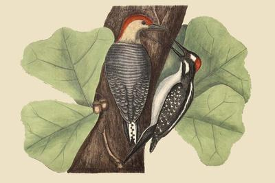 Red Bellied Woodpecker-Mark Catesby-Framed Art Print