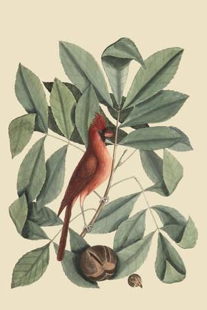 Red Bird-Mark Catesby-Framed Art Print