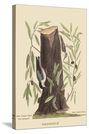 Nuthatch-Mark Catesby-Stretched Canvas Print