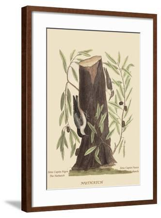 Nuthatch-Mark Catesby-Framed Art Print
