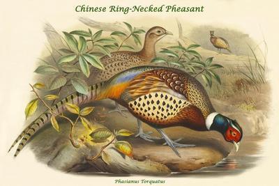 Phasianus Torquatus - Chinese Ring-Necked Pheasant-John Gould-Framed Art Print